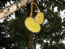 Tipos de Frutas Tropicais