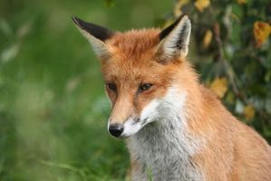 Como Tan Fox & Raccoon Pelts