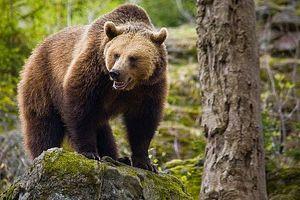 Como sobreviver a um ataque de urso