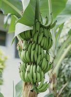 Frutas tropicais & árvores da floresta tropical equatoriana