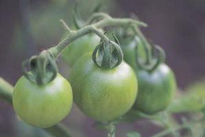 Como quente pode conserva Tomates verdes