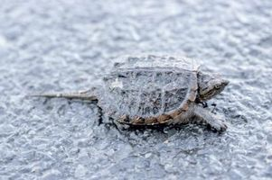 Como açougueiro uma tartaruga de agarramento