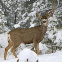 Quando é que dos cervos de Whitetail Antlers cair?