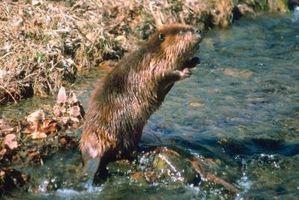 Que tipo de armadilhas que você usa para Beaver?