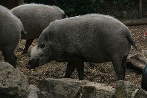 Regras para caçar Feral Hogs no Novo México