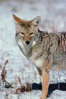 Como chamar Coyotes Com uma Caller Eletrônico