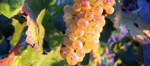 Processo enológico para a vinificação