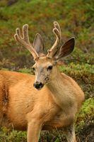 Como: Suporte de Parede Europeia para cervos