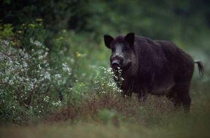 Wild Hog Caça Preserva em Ohio